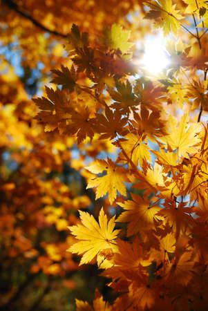 Yellow maple leaves as a concept of autumn season