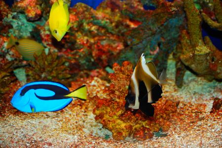Tropical fishes near the colorful corals in deep sea Imagens