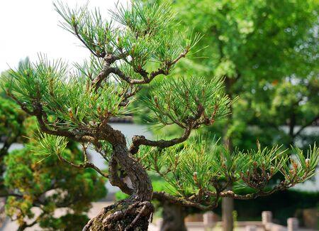 Beautiful green bonsai tree in the garden