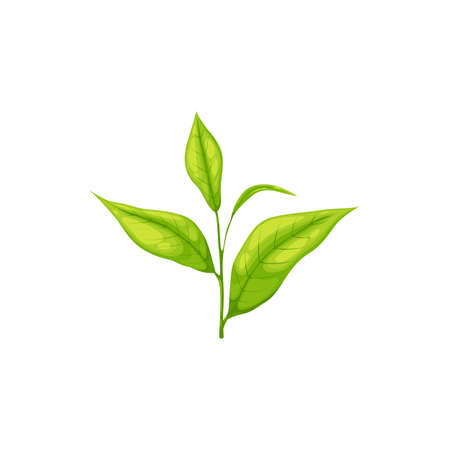 Realistic green or black tea leaf isolated herbal plant. Vector India, Ceylon or Chinese tea leaves on branch with stem, botanical plant, herbal tea ingredient. Fresh organic young saplings