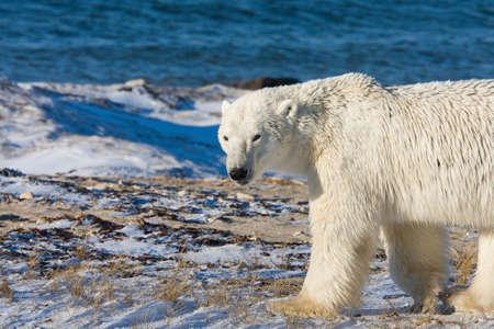 Polar bear walking around the beach in Churchill Canada. Stock Photo - 9543709