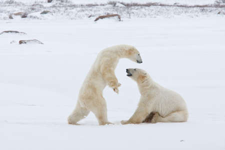 Polar bears fight, challenging leadership Stock Photo - 9849255