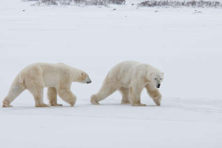 Two polar bears. Two polar bears go on snow-covered tundra one after another.It is snowing. Stock Photo - 9849253