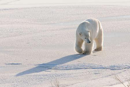 polar bear walking on ice pack of tundra near Churchill Canada photo