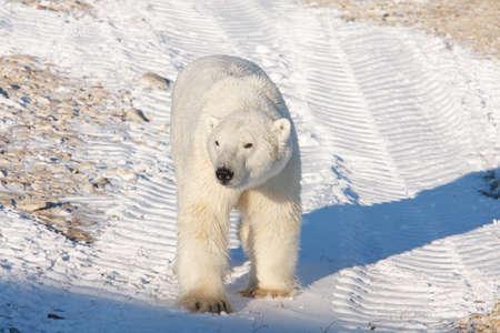 polar bear walking on ice pack of tundra near Churchill Canada Stock Photo - 9849288