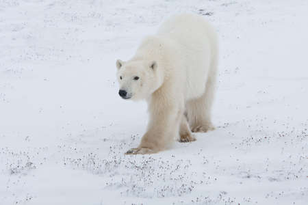 polar bear walking on ice pack of tundra near Churchill Canada Stock Photo - 9849242
