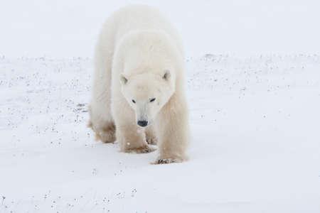 polar bear walking on ice pack of tundra near Churchill Canada Stock Photo - 9849212