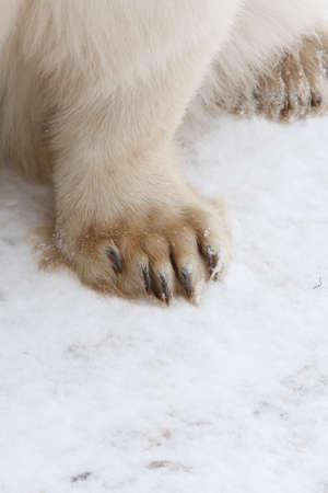 feet of polar bear Stock Photo - 9849283