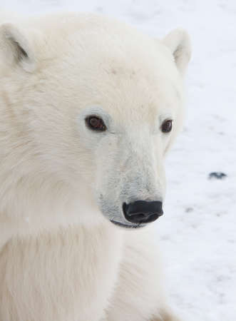 polar bear  of tundra near Churchill Canada Stock Photo - 9849229