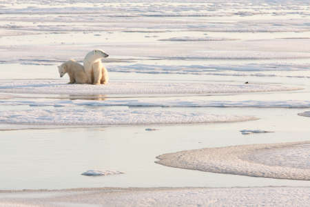 polar bear on the ice: Polar bear
