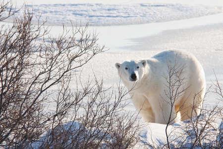 sniffing: Polar bear