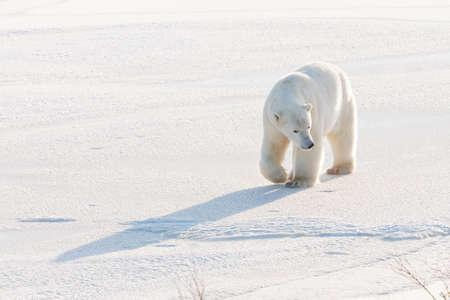 Polar bear walking photo