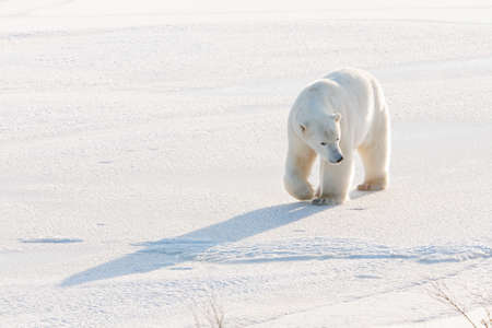 polar climate: Polar bear walking