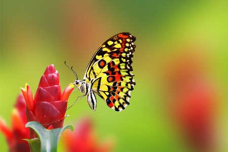 美しい蝶の花から蜜を飲む