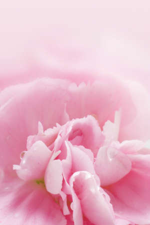 Close up of Carnation flowers photo
