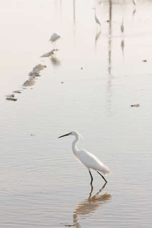 water's: white egret against waters