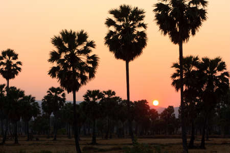 sugar palm: Silhouette of Sunset Sugar palm farm in Thailand
