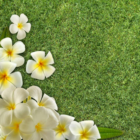 lei: Frangipani on green grass Stock Photo