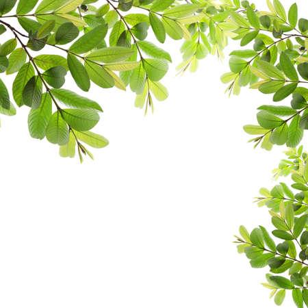 green fresh leaves frame on white background photo