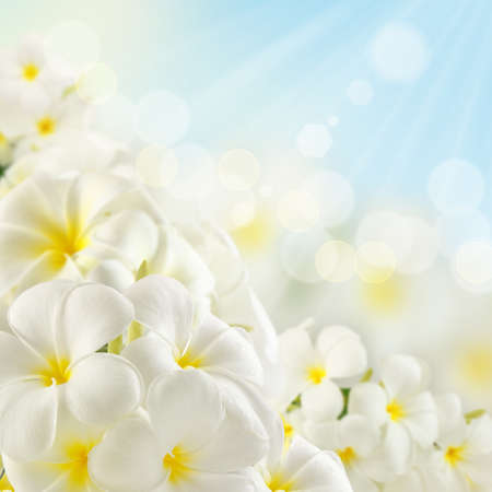 Bouquet of plumeria flowers and sunlight Stock Photo - 14530061