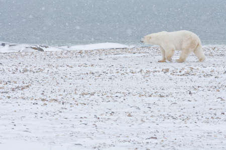 Polar Bear walking in snow. Stock Photo - 16058068