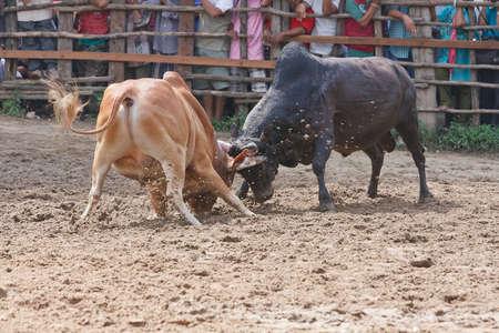 bull fight: Bull fight on the road sport