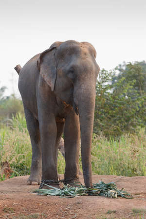 wild asia: elephant, the largest terrestrial animal