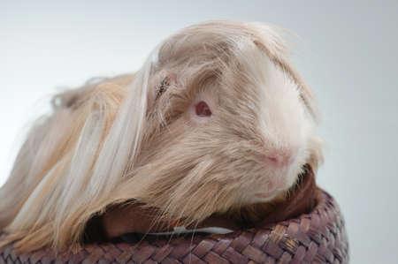 cavie: lunghi cavia dai capelli di fronte a uno sfondo bianco