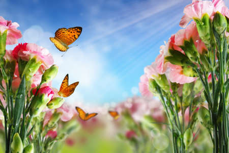 Beautiful Carnation flowers and butterflies in sun ray morning photo