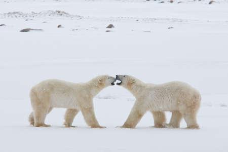 Polar bear, King of the Arctic Stock Photo - 16096289