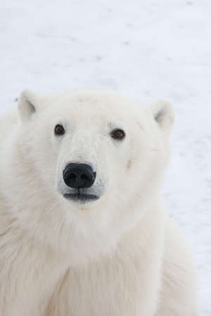 Polar bear, King of the Arctic Stock Photo - 16082931