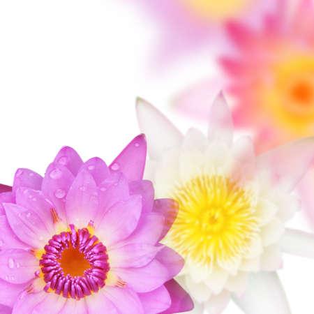 nelumbinis: lotus flower