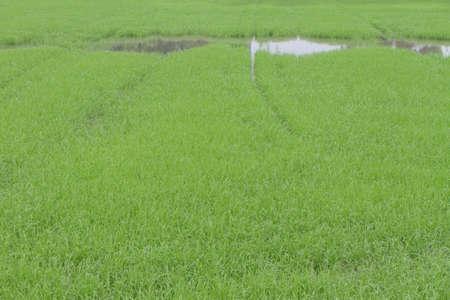 a photo of Rice farm photo