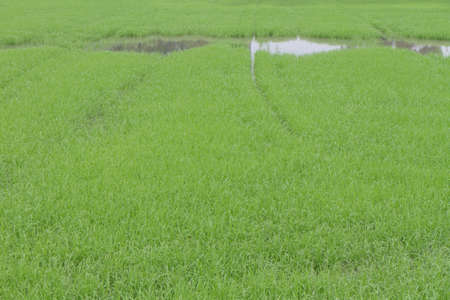 a photo of Rice farm Stockfoto