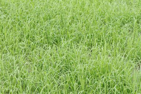 Rice farm Reklamní fotografie
