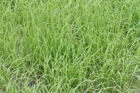 Rice farm Stockfoto