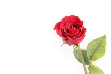 red rose Stock Photo - 16420643