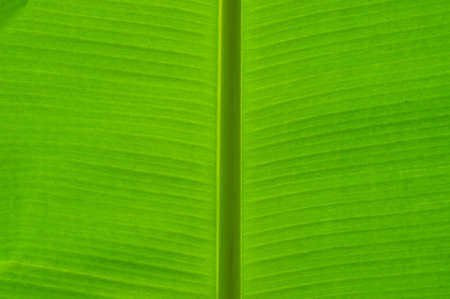 veining: Banana leaf