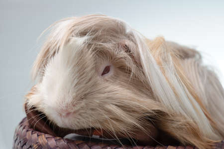 long haired guinea pig in front of a white background Reklamní fotografie