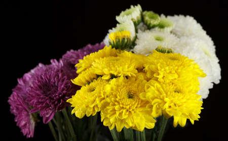 Chrysanthemum daisies Reklamní fotografie