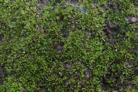 closeup old Stone Overgrown with Green Moss in forest