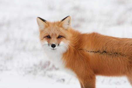 Timber Wolf  Reklamní fotografie