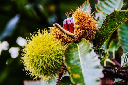 castanea sativa: Chestnut (Castanea sativa) Stock Photo