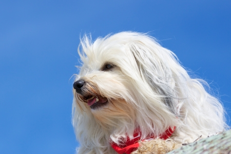 Havanese in profile Stock Photo - 17741261