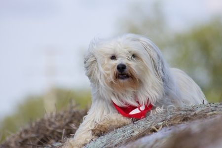 Lying Havanese Stock Photo - 17741245