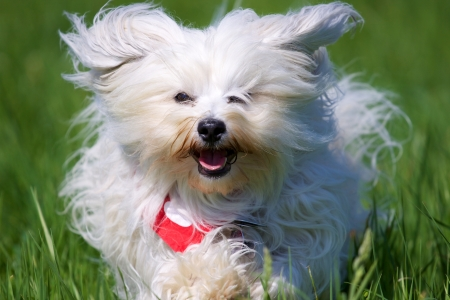 Havanese runs with flying fur on the camera, in a green meadow  Stock Photo - 17741258