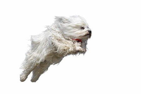 Long haired white dog breed  Havanese  flies straight with a red scarf in the air Isolated on white background  Stock Photo - 17741270