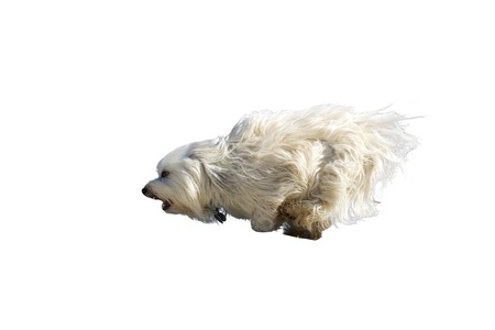 Long haired white dog breed  Havanese  runs at full speed through the frame Isolated on white background  Stock Photo - 17741260
