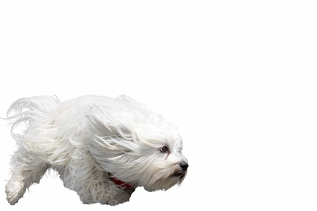 Long haired white dog breed  Havanese  shortly before the jump with eyes firmly fixed on a target Isolated on white background Stock Photo - 17741259