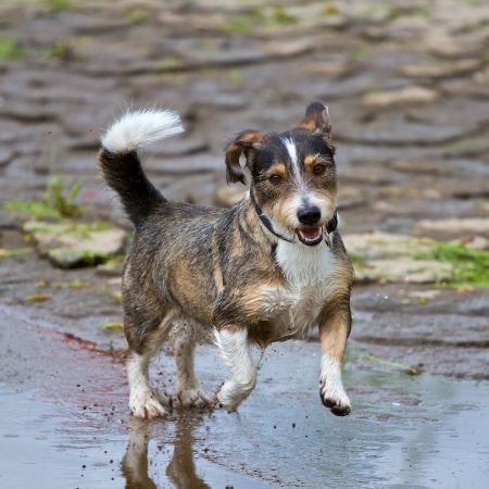 A mixed breed dog jumps very dynamic and enjoyable through a puddle of water Reklamní fotografie
